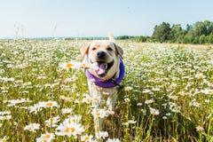 Perro de Labrador que corre y que ríe en camomiles Foto de archivo libre de regalías