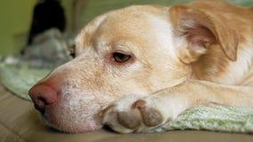 Perro de Labrador que miente en la cama