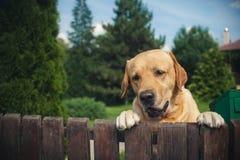 Perro de Labrador que mira furtivamente de detrás una cerca Imágenes de archivo libres de regalías