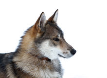 Perro de Laika Imagen de archivo libre de regalías