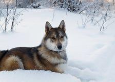 Perro de Laika Fotografía de archivo libre de regalías