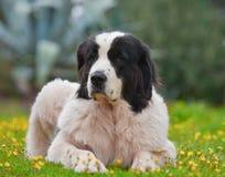 Perro de Landseer Fotografía de archivo