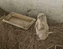 Perro de las praderas blanco masculino que se coloca en la tierra, sandpit interior Fotos de archivo libres de regalías
