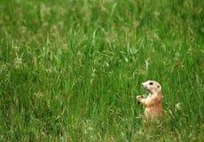 Perro de las praderas en campo Foto de archivo libre de regalías