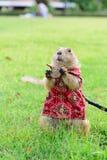 Perro de las praderas en el paño que se coloca en hierba Foto de archivo libre de regalías