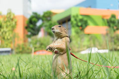 Perro de las praderas en el parque imágenes de archivo libres de regalías