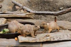 Perro de las praderas en parque zoológico Imagen de archivo libre de regalías