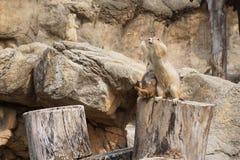 Perro de las praderas en parque zoológico Imagenes de archivo