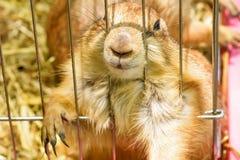 Perro de las praderas en una jaula imágenes de archivo libres de regalías