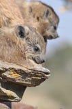 Perro de las praderas que descansa sobre rocas Imágenes de archivo libres de regalías