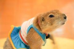 Perro de las praderas Tailandia Fotos de archivo