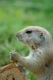 Perro de las praderas y su pan de canela Fotografía de archivo libre de regalías