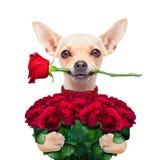 Perro de las tarjetas del día de San Valentín Imagen de archivo libre de regalías