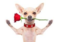Perro de las tarjetas del día de San Valentín Foto de archivo libre de regalías