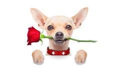 Perro de las tarjetas del día de San Valentín Foto de archivo