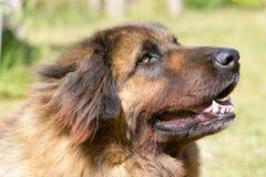 Perro de Leonberger Imágenes de archivo libres de regalías