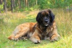 Perro de Leonberger que descansa sobre hierba Imagen de archivo