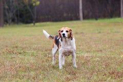 Perro de los beagles Imagen de archivo libre de regalías