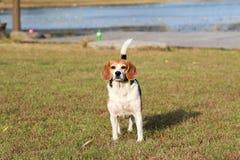 Perro de los beagles Foto de archivo