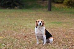 Perro de los beagles Fotografía de archivo