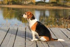 Perro de los beagles Imágenes de archivo libres de regalías