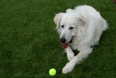 Perro de los grandes Pirineos con la pelota de tenis fotografía de archivo libre de regalías