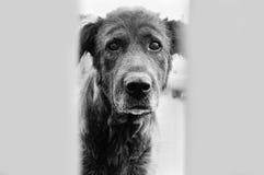 Perro de los ojos Fotografía de archivo