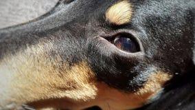 Perro de los ojos Macro Imagen de archivo
