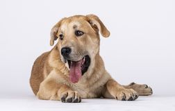 Perro de Mastin que miente con su lengua hacia fuera fotografía de archivo libre de regalías