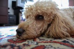 Perro de mentira, caniche Imágenes de archivo libres de regalías