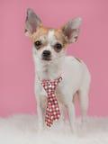 Perro de mirada dulce de la chihuahua que se coloca con el lazo Foto de archivo