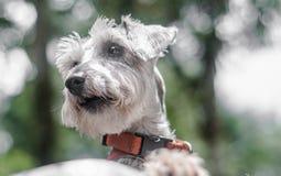 Perro de mirada enojado del Schnauzer Imagen de archivo
