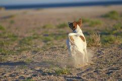 Perro de Mongrell, Podenco, terrier de Jack Russel que corre en una playa Fotografía de archivo