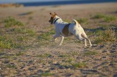 Perro de Mongrell, Podenco, terrier de Jack Russel que corre en una playa Fotos de archivo
