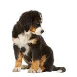 Perro de montaña bernese del perrito Fotos de archivo