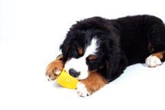 Perro de montaña bernese del perrito Foto de archivo