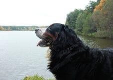 Perro de montaña de Bernese en un paseo en el parque Foto de archivo libre de regalías