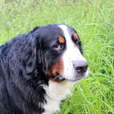 Perro de montaña de Bernese en un paseo en el parque Fotos de archivo libres de regalías