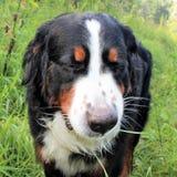 Perro de montaña de Bernese en un paseo en el parque Imagenes de archivo