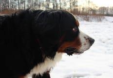 Perro de montaña de Bernese en un paseo en el parque Imagen de archivo libre de regalías