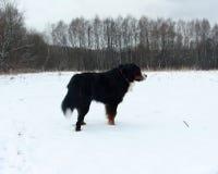 Perro de montaña de Bernese en un paseo en el parque Fotografía de archivo libre de regalías