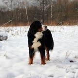 Perro de montaña de Bernese en un paseo en el parque Fotos de archivo
