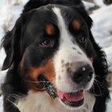 Perro de montaña de Bernese en un paseo en el parque Imágenes de archivo libres de regalías