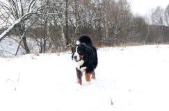 Perro de montaña de Bernese en un paseo en el parque Imagen de archivo