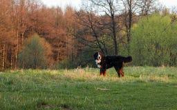 Perro de montaña de Bernese realmente hermoso ¡Gran perro - perro de montaña de Bernese! Foto de archivo libre de regalías