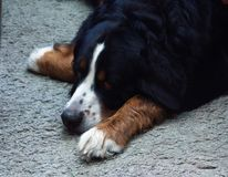 Perro de montaña de Bernese realmente hermoso Foto de archivo
