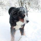 Perro de montaña de Bernese realmente hermoso Imagen de archivo