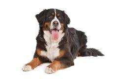 Perro de montaña de Bernese Fotografía de archivo libre de regalías