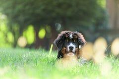 Perro de montaña de Bernese Foto de archivo