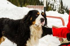 Perro de montaña de Bernese Imagenes de archivo